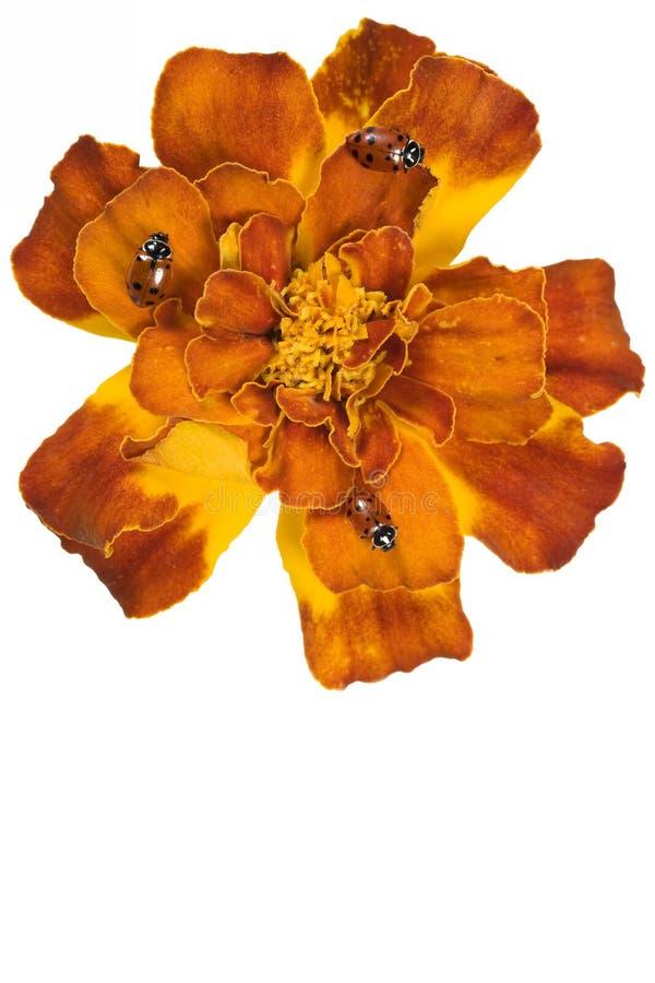 Ladybugs en una flor imagen de archivo libre de regalías