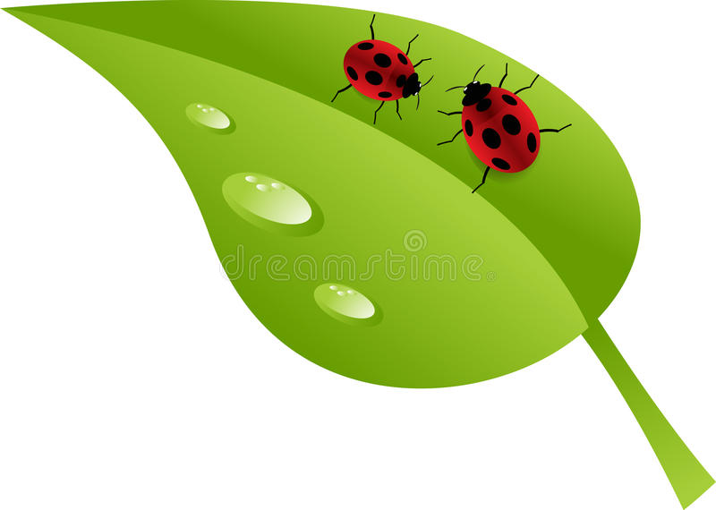 Ladybugs on leaf. Two ladybugs crawling on green leaf covered with dewdrops stock illustration