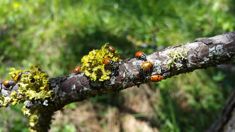 Ladybugs on moss covered branch royalty free stock photos