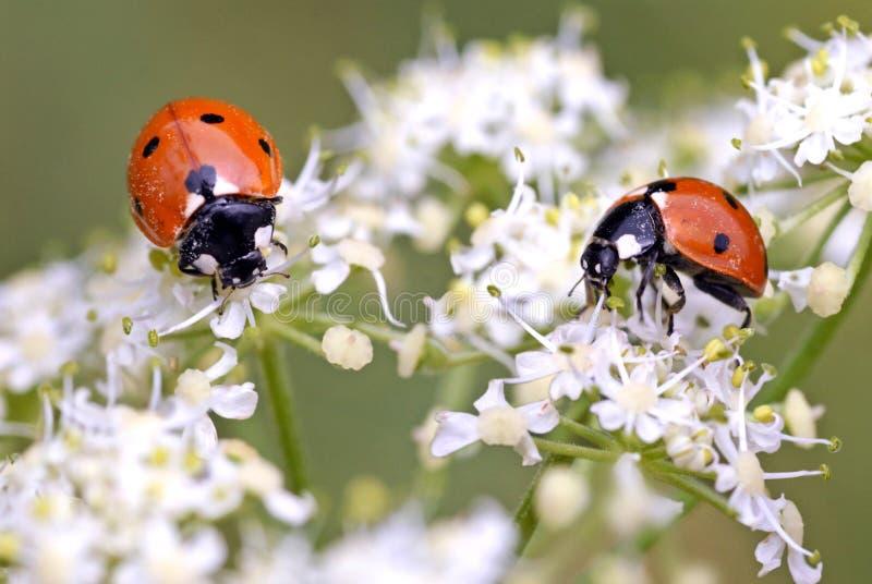 Ladybugs nas flores foto de stock royalty free
