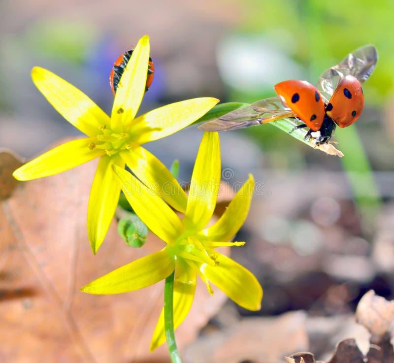 Download Ladybugs  On Spring  Flowers Stock Image - Image: 39247831