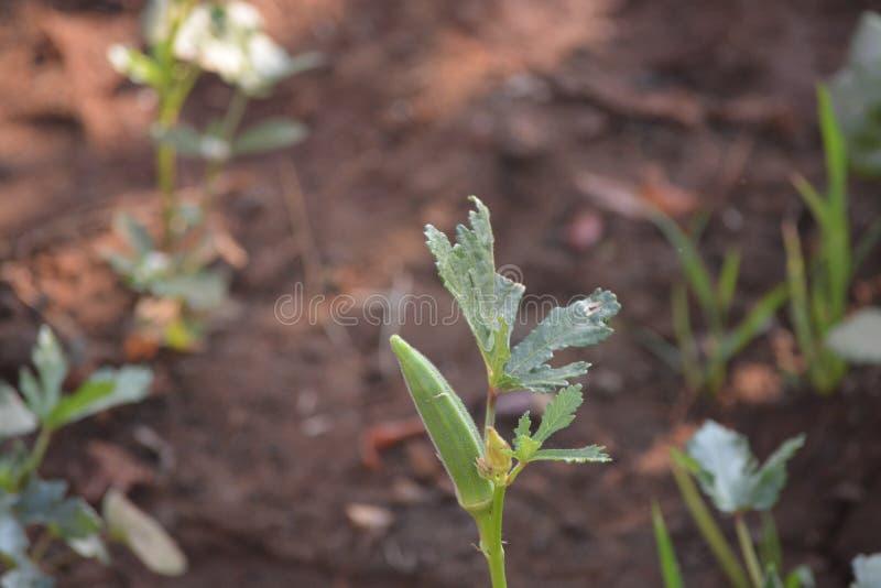 ladyfingers farming Stof tot nadenken royalty-vrije stock foto's