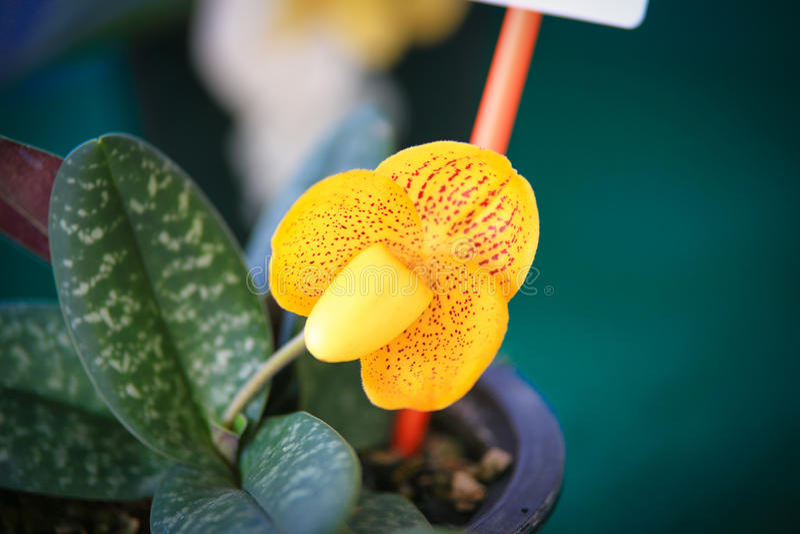 LadySlipper orchidea obrazy royalty free