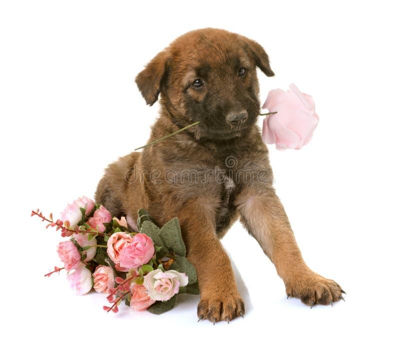 Laekenois belgas del perro de pastor del perrito imagen de archivo