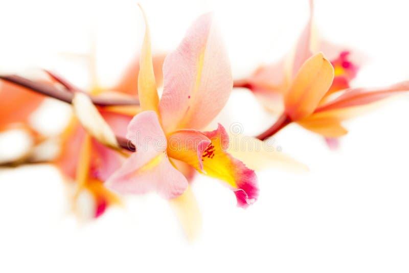 Laelia orchidea zdjęcie royalty free