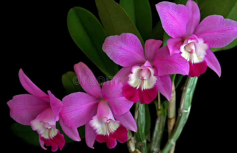 Laeliocattleya Orchid royalty free stock image