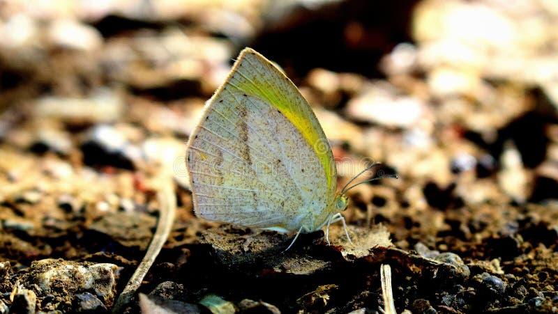 Laeta amarillo de Eurema de la mariposa de la hierba limpia india imagen de archivo