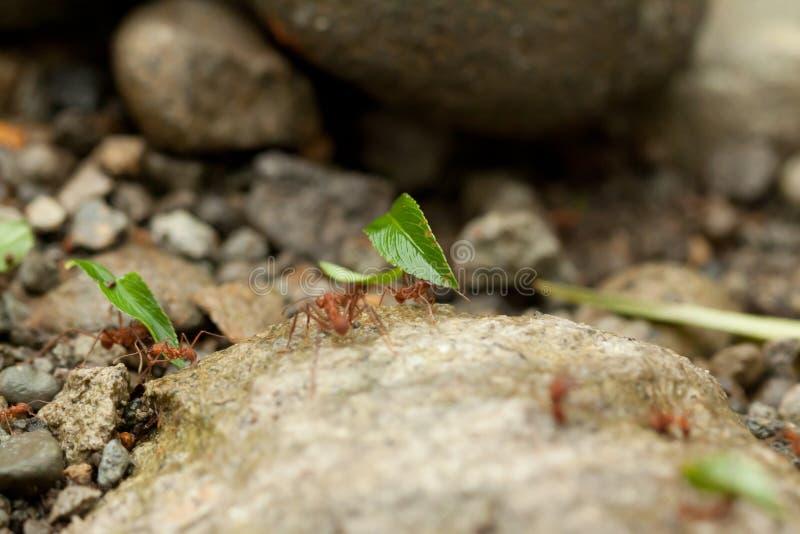 lag av myror som konstruerar, teamwork royaltyfria bilder