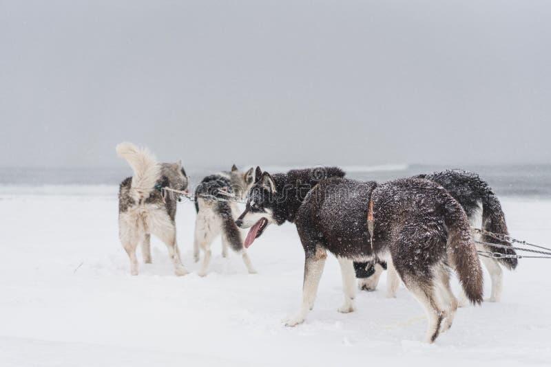 Lag av slädehundkapplöpning i en häftig snöstorm på den Kamchatka halvön royaltyfri foto