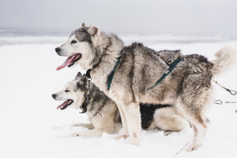 Lag av slädehundkapplöpning i en häftig snöstorm på den Kamchatka halvön arkivbilder