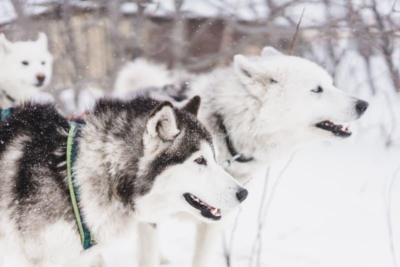 Lag av slädehundkapplöpning i en häftig snöstorm på den Kamchatka halvön fotografering för bildbyråer