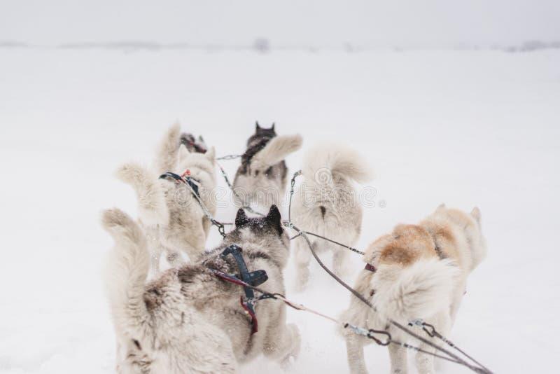 Lag av slädehundkapplöpning i en häftig snöstorm på den Kamchatka halvön arkivbild