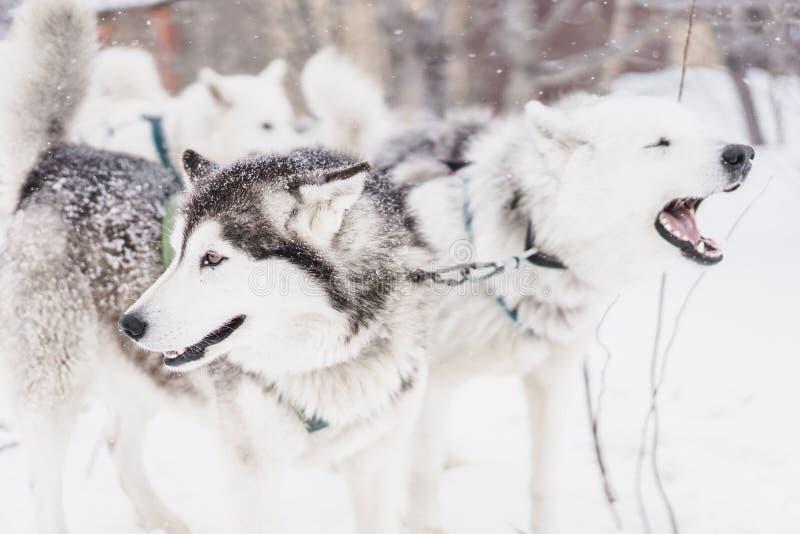 Lag av slädehundkapplöpning i en häftig snöstorm på den Kamchatka halvön arkivfoton