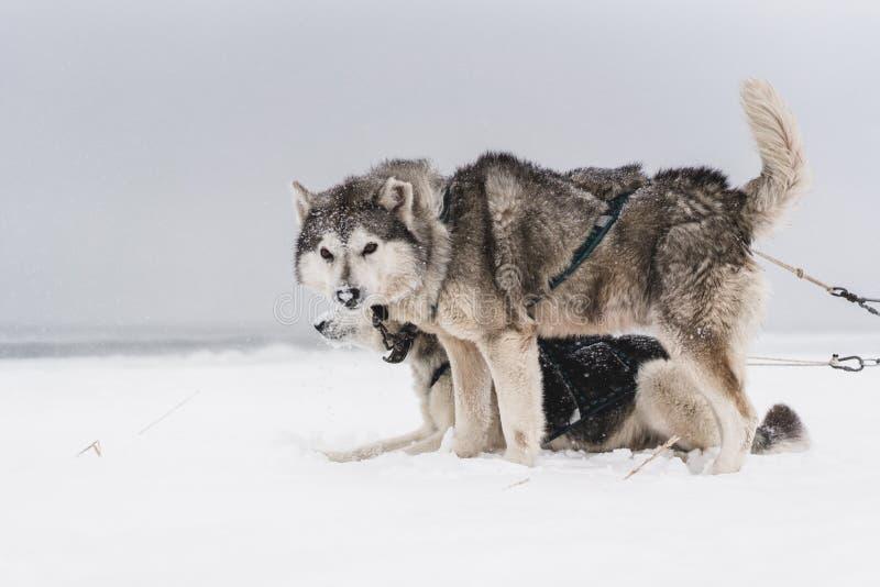 Lag av slädehundkapplöpning i en häftig snöstorm på den Kamchatka halvön royaltyfria foton