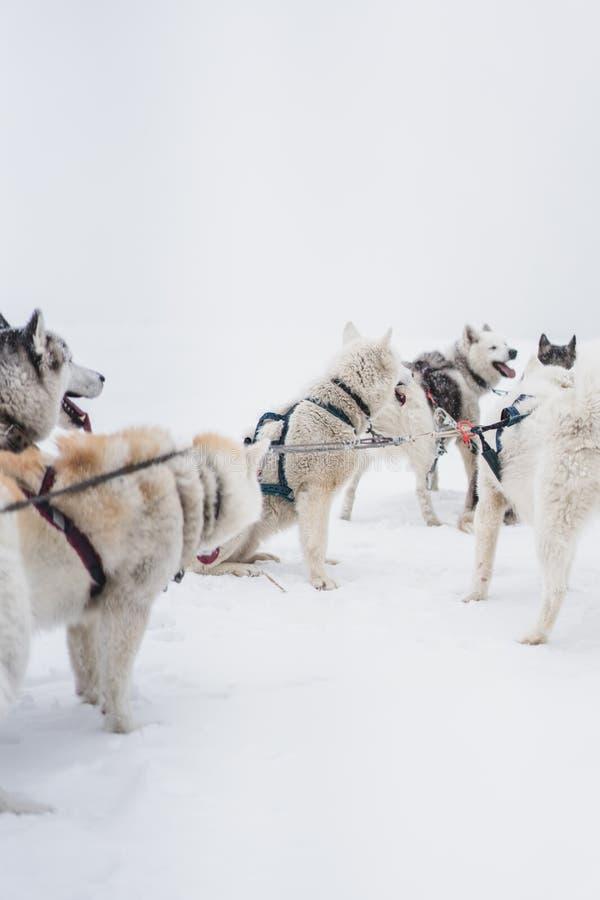 Lag av slädehundkapplöpning i en häftig snöstorm på den Kamchatka halvön arkivfoto