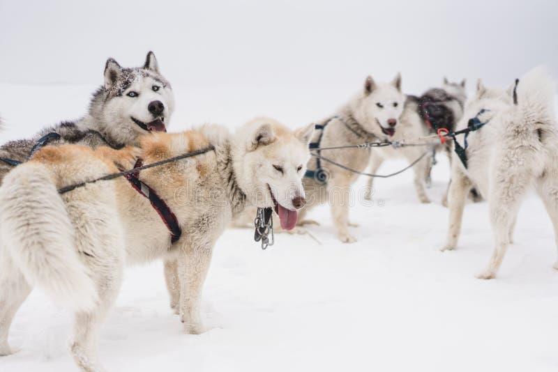 Lag av slädehundkapplöpning i en häftig snöstorm på den Kamchatka halvön royaltyfri fotografi