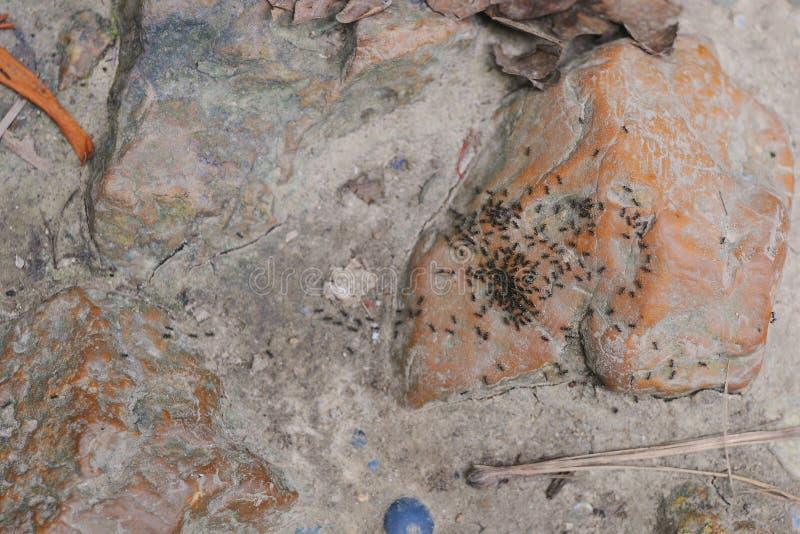 Lag av svarta myror som arbetar på jordning royaltyfria bilder