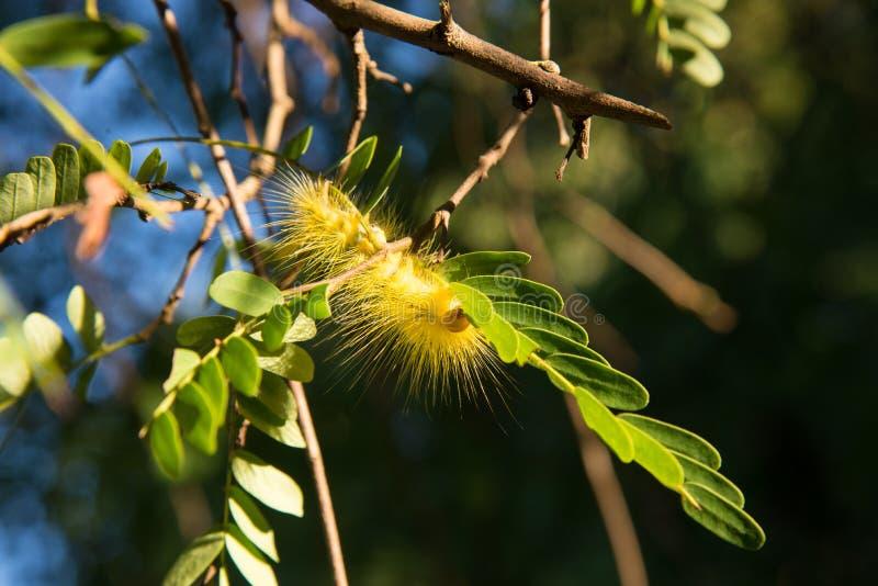 Lagarta bonita do yellowe em uma planta verde foto de stock