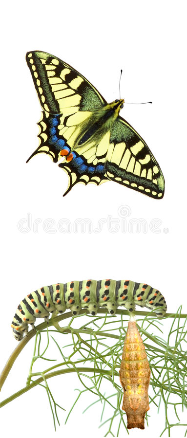Lagarta, crisálidas, e borboleta do swallowtail imagem de stock royalty free