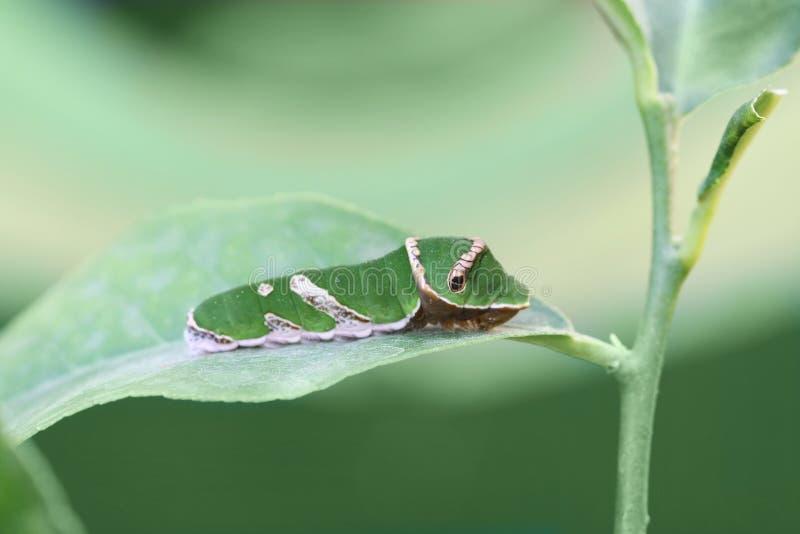 Lagarta da borboleta Swallowtail imagens de stock