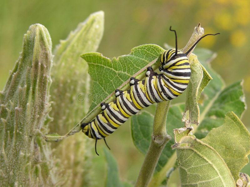 Download Lagarta do monarca foto de stock. Imagem de nave, macro - 542028