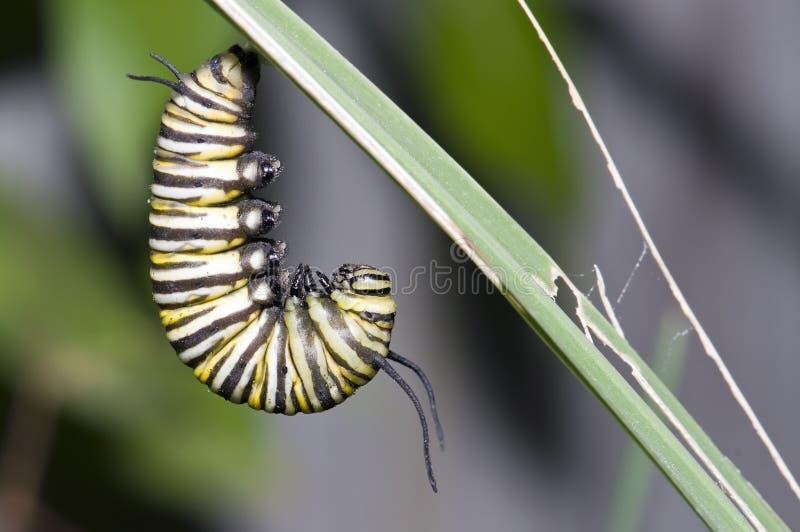 Lagarta do monarca fotografia de stock royalty free