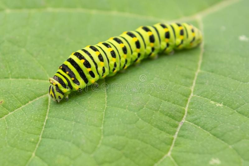 Lagarta do swallowtail do anis, machaon de Papilio, zelicaon de Papilio imagens de stock