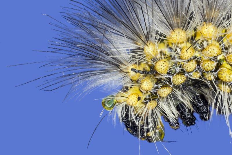 Lagarta macro extrema do bicho-da-seda gigante fotografia de stock royalty free