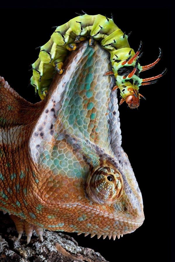 Lagarta na cabeça do chameleon imagem de stock royalty free