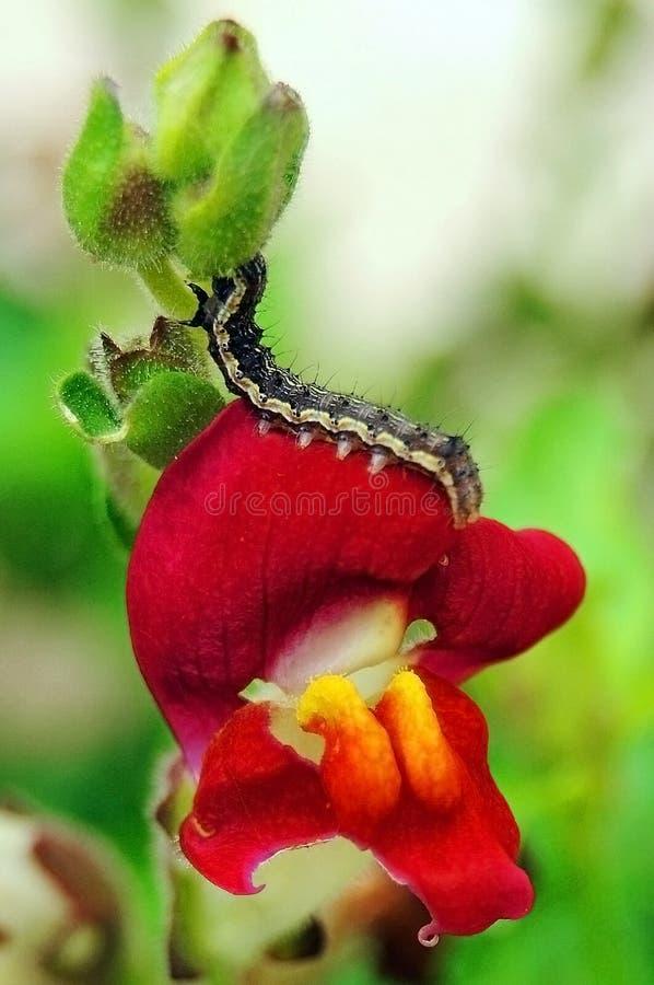 Lagarta na flor vermelha fotos de stock royalty free
