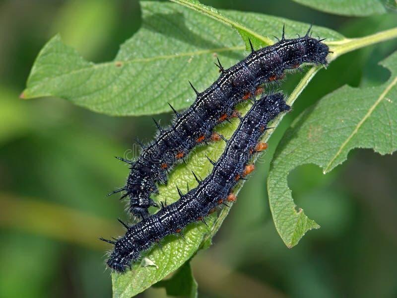 Lagartas da borboleta do Nymphalidae da família. imagem de stock