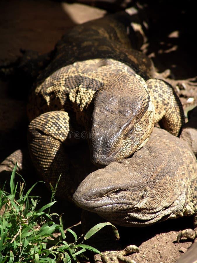 Download Lagarto foto de stock. Imagem de detalhado, outdoor, reptilian - 529820