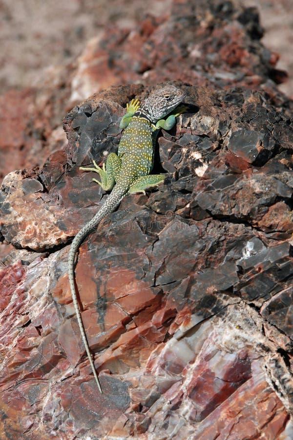Lagarto agarrado en Forest National Park petrificado, Arizona foto de archivo