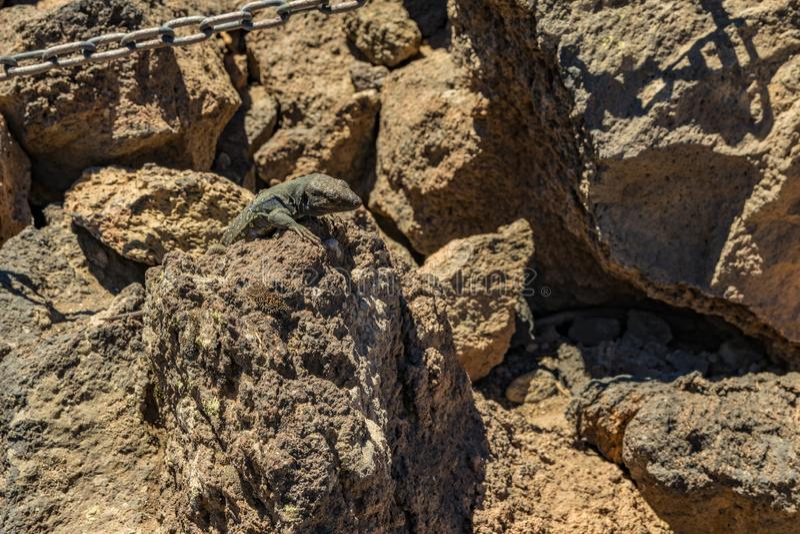 Lagarto amarelo - o galloti de Gallotia está descansando na pedra vulcânica da lava O lagarto olha fixamente na câmera, fim acima imagem de stock royalty free