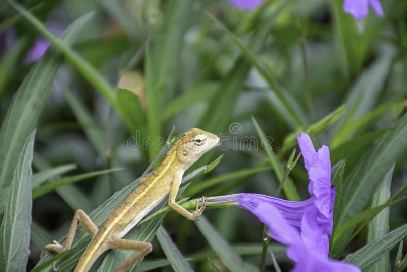 Lagarto atado longo pequeno na flor roxa ou squarrosa Fenzi Cufod de Ruellia no jardim imagens de stock