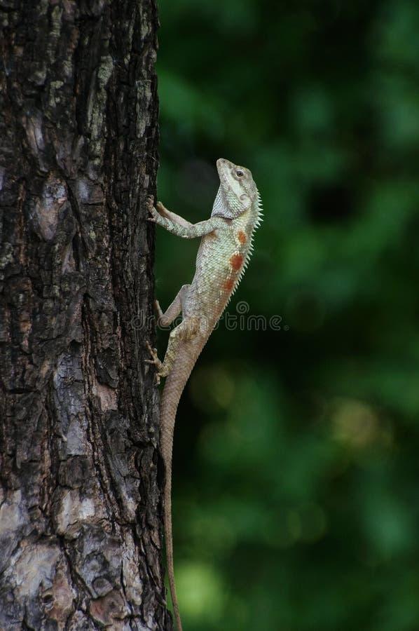 lagarto Azul-con cresta que amplía su cuerpo superior imágenes de archivo libres de regalías