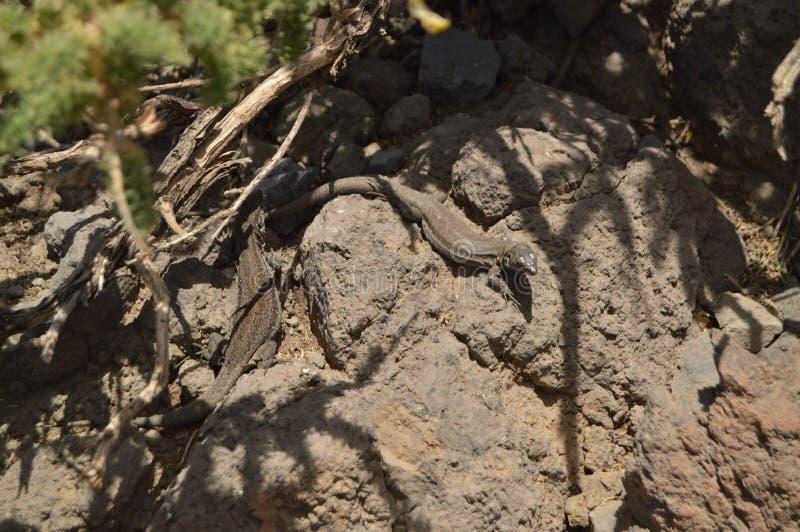 Lagarto bonito con una cola sin fin en el parque nacional de De Taburiente de la caldera Viaje, naturaleza, días de fiesta, geolo imagenes de archivo