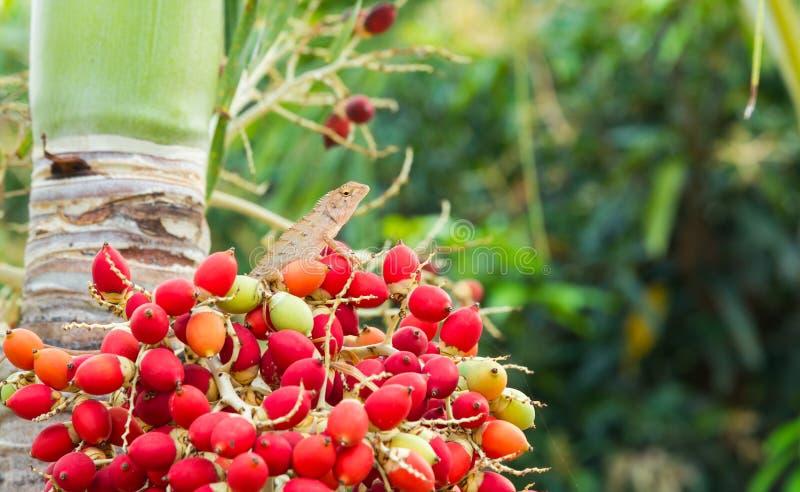 Lagarto cambiable, lagarto Rojo-dirigido, perca india del lagarto del jardín en un manojo de frutas de la palma de Manila foto de archivo libre de regalías