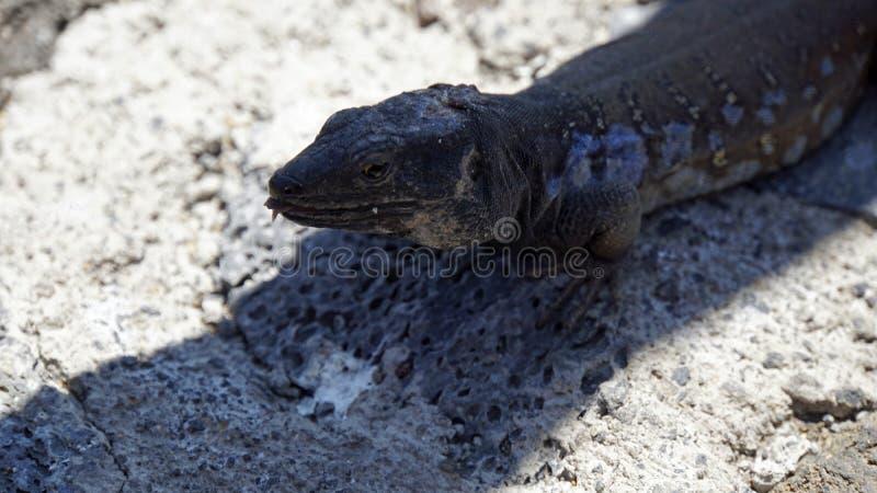 lagarto cinzento pequeno no parque do teide imagem de stock royalty free