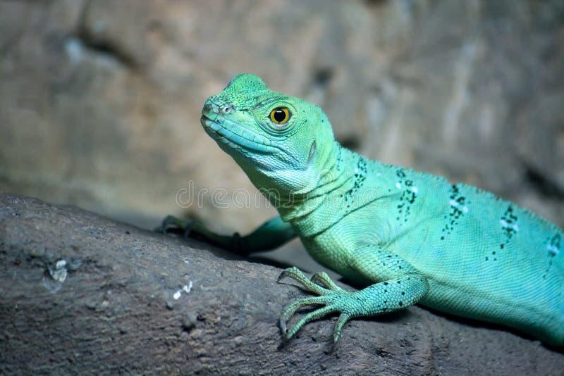 Lagarto colorido do basilisk do verde azul fotografia de stock royalty free