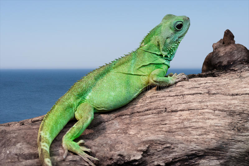 Lagarto da iguana pelo mar fotografia de stock royalty free