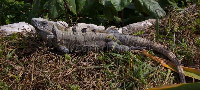 Lagarto da iguana perto das ruínas de Tulum imagens de stock royalty free
