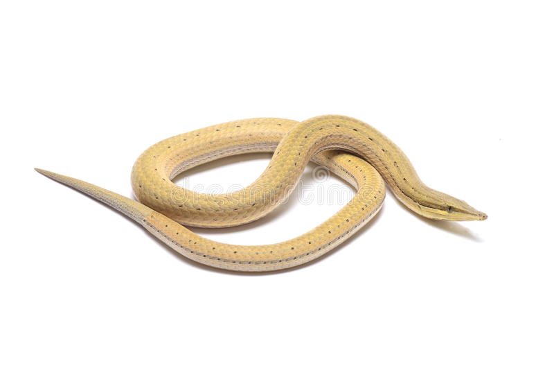 Lagarto da serpente de Papua (jicari de Lialis) fotos de stock royalty free