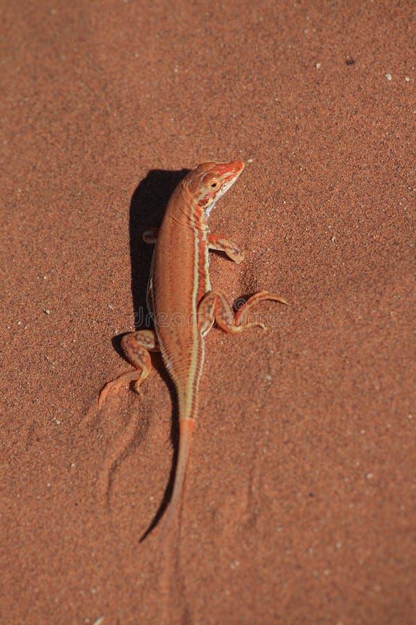 Lagarto de areia vermelho fotografia de stock royalty free