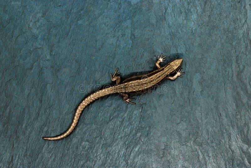 Lagarto de bronce que miente en fondo de la piedra azul con el espacio libre Opinión aguda y macra el lagarto desde arriba fotografía de archivo libre de regalías