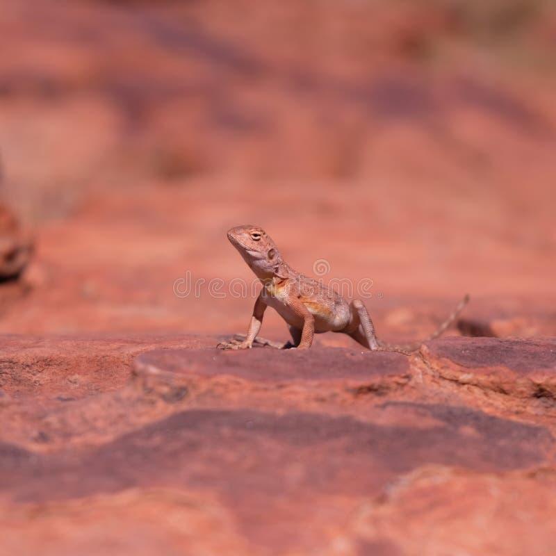 lagarto de dragão Anel-atado na rocha imagens de stock royalty free