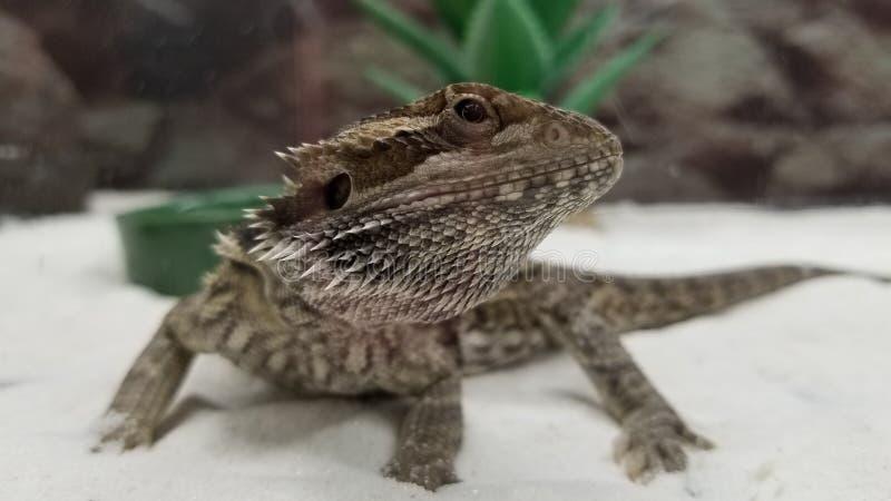 Lagarto de dragão panado foto de stock royalty free