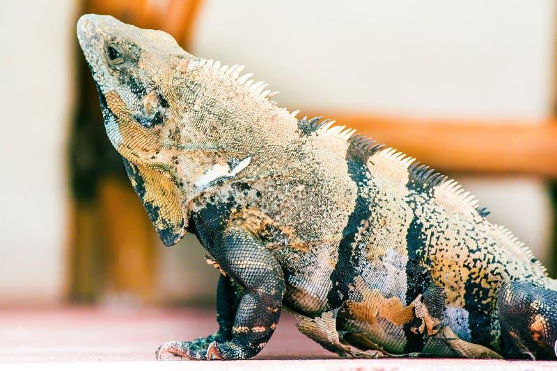 Lagarto de la iguana, textura de la piel Perfil animal imagen de archivo