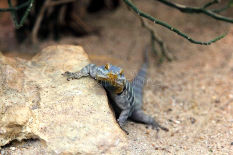 Lagarto de la roca azul de Baja imágenes de archivo libres de regalías