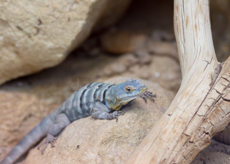 Lagarto de la roca azul de Baja fotos de archivo